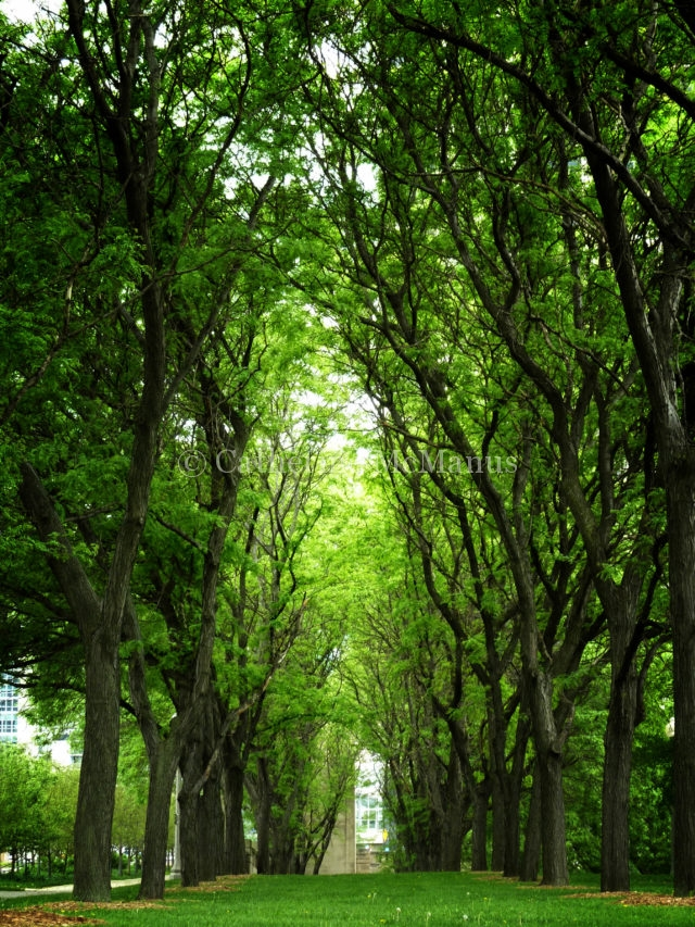 Tree tunnel in Chicago